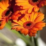 orange-gerbera-ii_m